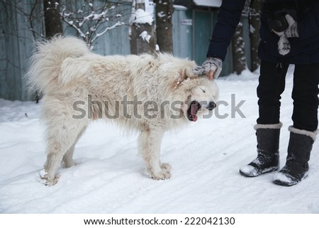 fluffy white dog under the falling snow in winter - stock photo