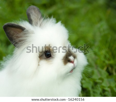 Fluffy white rabbit on walk