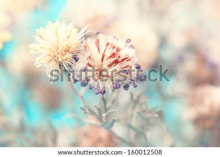fluffy withered aster's bud