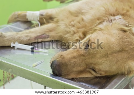 fluid therapy in golden retriever at animal hospital