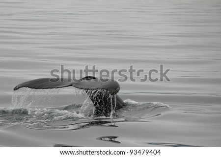 Fluke of a humpback whale shortly before diving in Husavik bay, Iceland - stock photo