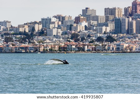 Fluke of Gray Whale a critical endangered species making an unusual appearance in San Francisco Bay with city skyline in background