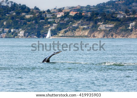 Fluke of Mother Gray Whale and baby, critically endangered species, a very unusual occurrence in San Francisco Bay
