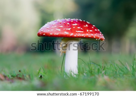 Fly Agaric (Amanita muscaria) - Baarn, the Netherlands