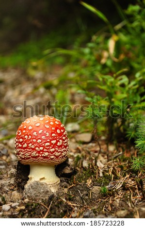 Fly agaric (Amanita muscaria) in summer forest, Ukraine