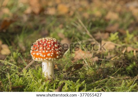 Fly Agaric (Amanita muscaria) ,Landscape format against an autumnal background ,late autumn in a Berkshire woodland