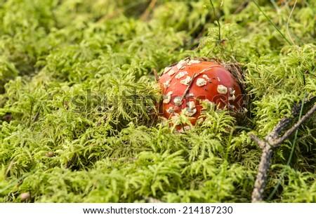 Fly agaric, Amanita muscaria, poisonous fungus  - stock photo