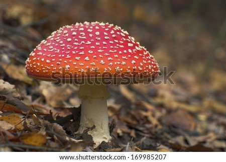 Fly agaric, Fruiting body, crow, talus