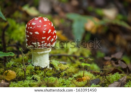 fly agaric growing on moss - stock photo
