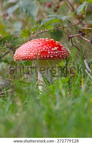 Fly agaric in the grass, Netherlands