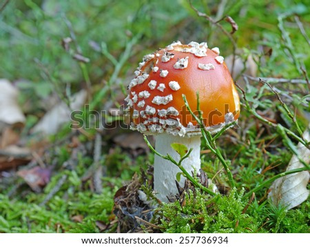 fly agaric on wood ground - stock photo