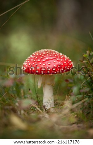 Fly agaric or fly Amanita mushroom, Amanita muscaria