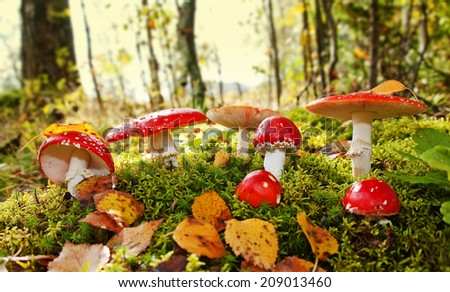 fly agaric toadstool - stock photo