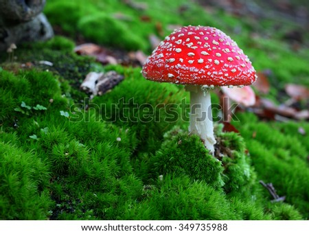 Fly agaric toadstool in moss - stock photo