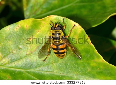 fly disguised as a wasp - stock photo