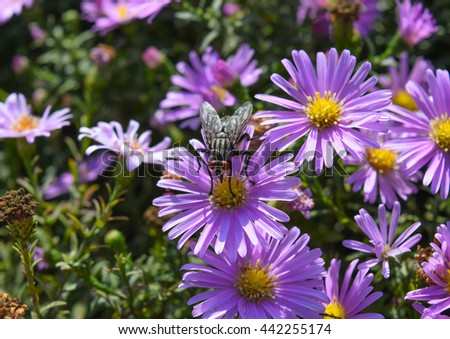 Fly drinking nectar on a light purple flowers. Insects pollinate. - stock photo
