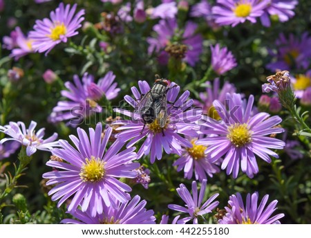 Fly drinking nectar on a light purple flowers.Insects pollinate. - stock photo