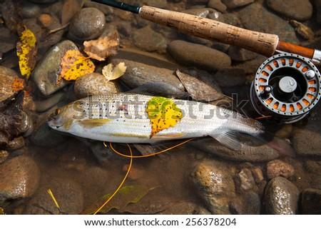 Fly Fishing. Fishing rod and fish   - stock photo