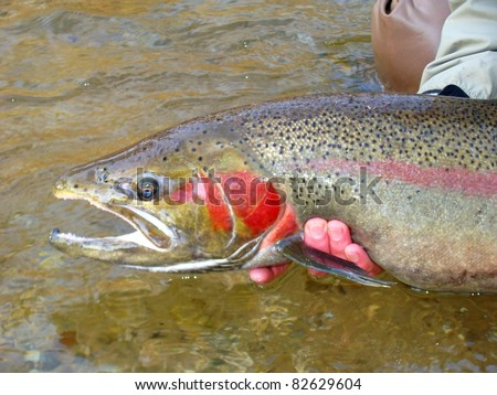 Fly fishing for steelhead rainbow trout, Pere Marquette River - releasing a huge beautiful fish - stock photo