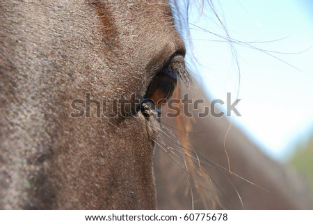 Fly getting moisture from the corner of a horses eye.