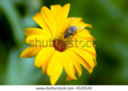 Fly is sitting on vivid daisy over deep green grass background
