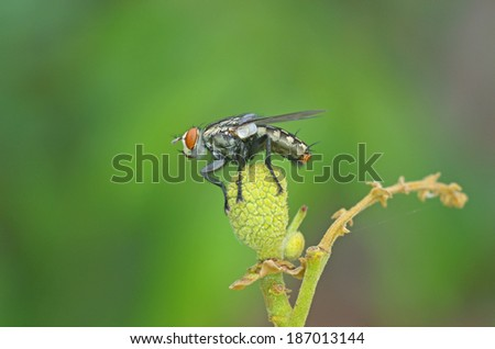 fly is staying on the young longan fruit