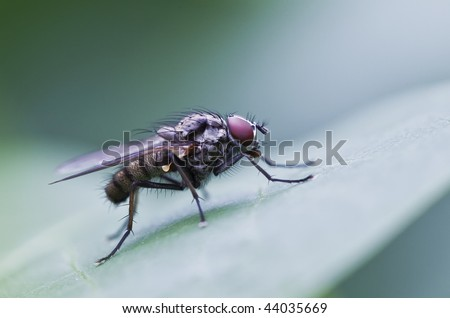 Fly on a leaf with red eyes