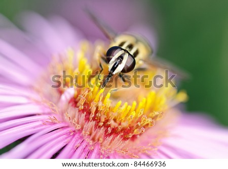Fly on flower. - stock photo
