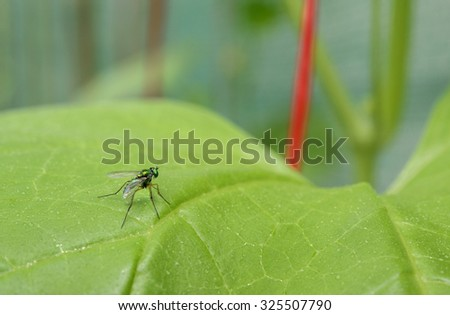 Fly on green melon leaf; Green melon leaf with water drop and blur green background