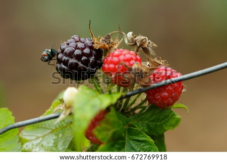 Fly pest on Raspberry Fruit