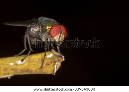 Fly red eyes extreme closeup photo  - Fly red eyes macro photo