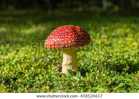 Flyagaric mushroom in green moss in fall forest, Kepler track, New Zealand