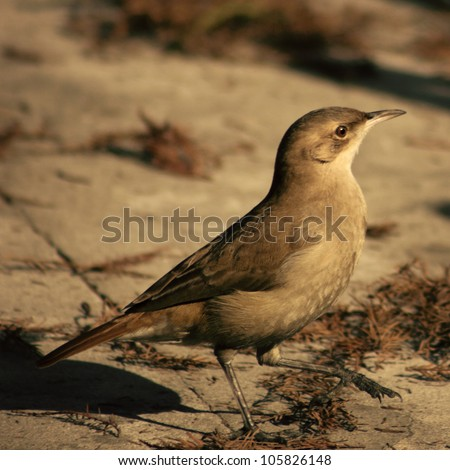 Flycatcher Bird - stock photo