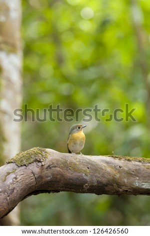 flycatcher, Red-throated flycatcher on deep forest branch of tree - stock photo