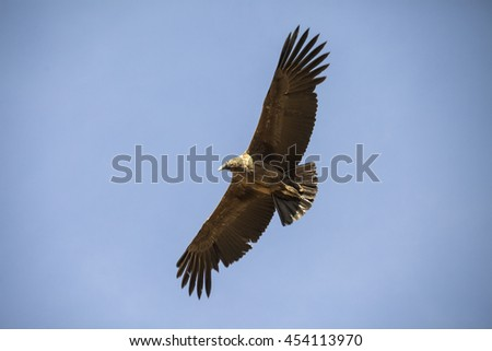 Flying Andean condor (Vultur gryphus) at Colca canyon,Peru. They are the largest flying land birds in the Western Hemisphere with a wingspan, ranging from 274 to 310 cm (8.99 to 10.17 ft)   - stock photo