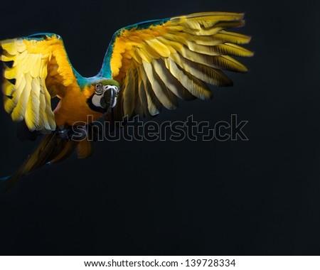 Flying Ara on a dark background - stock photo