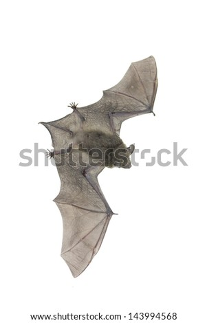 Flying bat isolated on white - stock photo
