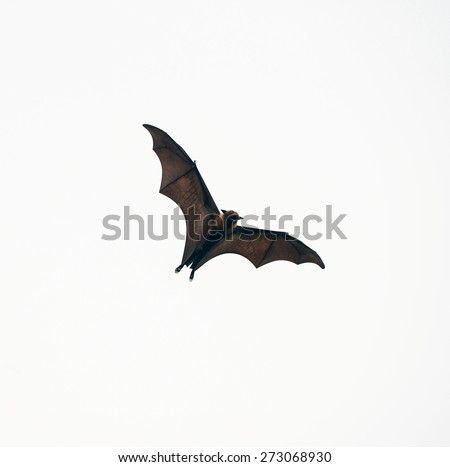 Flying bat (Lyle's flying fox) isolated on white background - stock photo