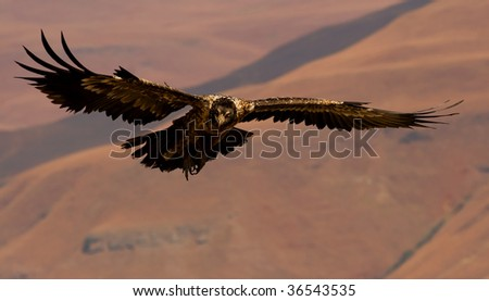 flying bearded vulture - stock photo