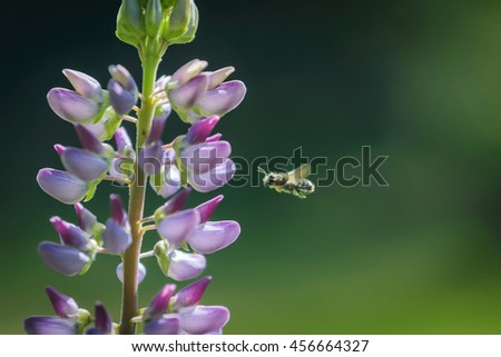 Flying bee approaching a pink lupine in garden