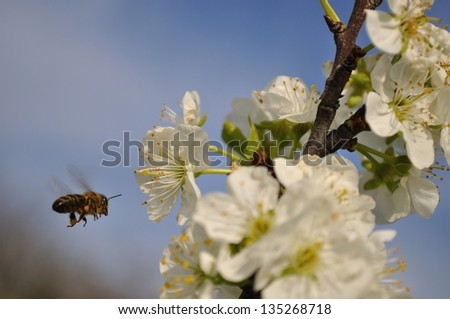 Flying bee collecting pollen on plum in springtime - stock photo