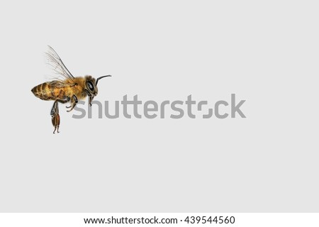 Flying bee on the gray background with copy space. Insects. Pollination.