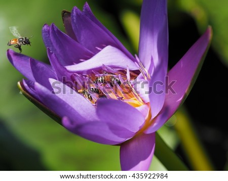 flying bee with bees sucking nectar on purple lotus. - stock photo