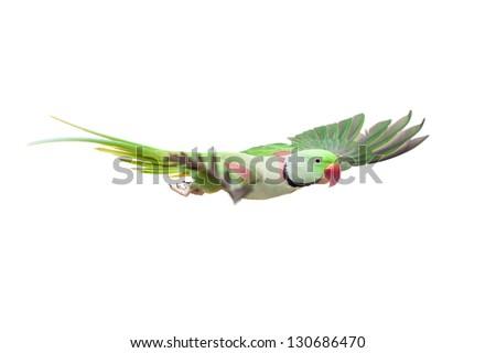 Flying big green ringed or Alexandrine parakeet (Psittacula eupatria) male, on the white background - stock photo