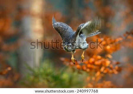 Flying bird of prey Goshawk with blurred orange autumn tree forest in the background - stock photo