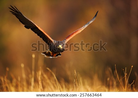 Flying bird of prey,  Harris´s Hawk, Parabuteo unicinctus, in grass - stock photo