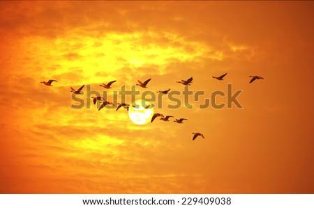 Flying birds against orange sunset. - stock photo