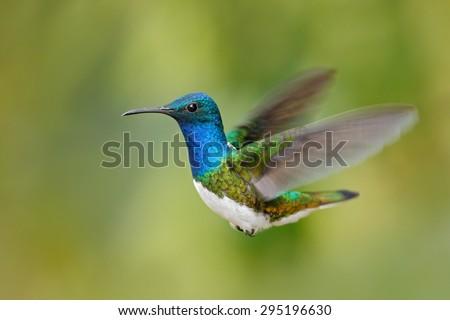 Flying blue and white hummingbird White-necked Jacobin, Florisuga mellivora, from Ecuador, clear green background - stock photo