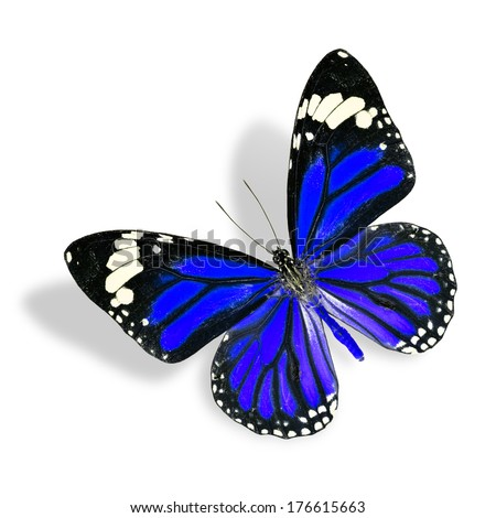 Flying Blue Butterfly isolated on white background with soft shadow (Common Tiger)