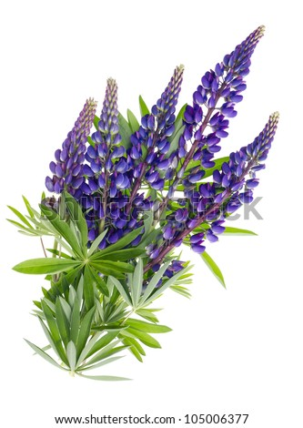 bluebonnet flower lizenzfreie bilder und vektorgrafiken kaufen, Beautiful flower